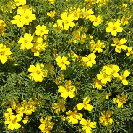 Citrus-afrikaantjes Lemon - Tagetes tenuifolia - Eetbare Bloemetjes