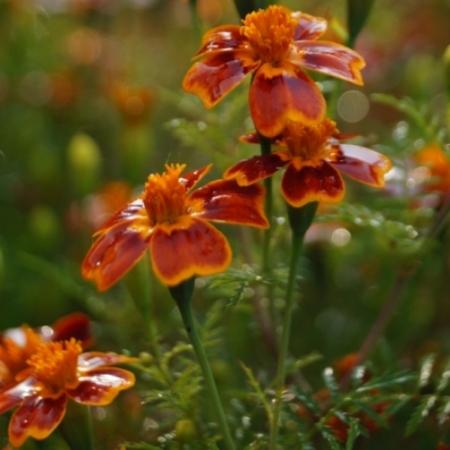 Ster-Afrikaantjes / 'Signet Marigold' (mixed) - Tagetes tenuifolia - Eetbare Bloemetjes
