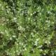 Bonenkruid - Satureja hortensis - Tuinkruiden