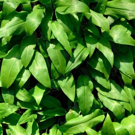 Daslook - Allium ursinum - Tuinkruiden