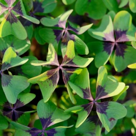 Klavertje vier - Oxalis tetraphylla 'Iron Cross' / Oxalis deppei - Tuinkruiden
