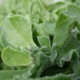 IJskruid/IJsplant - Mesembryanthemum crystallinum - Tuinkruiden