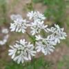 Koriander bloemetjes