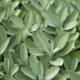 Echte Salie - Salvia officinalis - Tuinkruiden