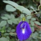 Vlindererwtje - Clitoria ternata - Eetbare bloemetjes
