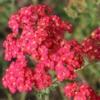 Duizendblad - Eetbare bloemetjes