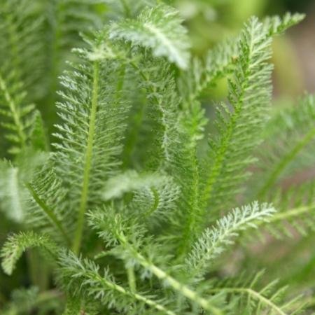 Duizendblad - Achillea millefolium - Tuinkruiden
