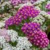 Duizendblad 'Summer Pastels' - Eetbare bloemetjes