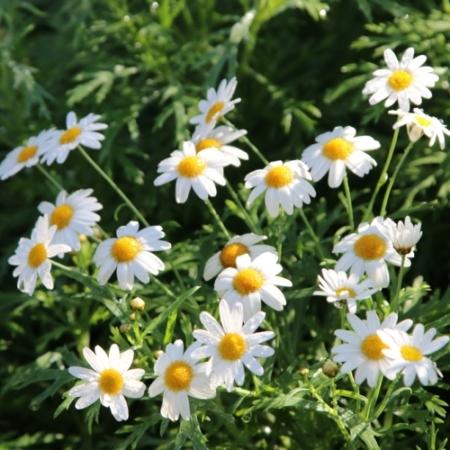 Roomse Kamille - Chamaemelum nobile - Eetbare Bloemetjes