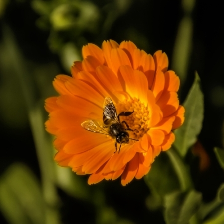 Akker Goudsbloemen - Calendula arvensis - Eetbare Bloemetjes