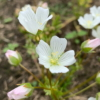 Moerasbloem - Spiegel-eitjes - Eetbare bloemetjes