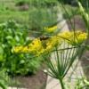 Venkel-bloemetjes - Eetbare Bloemetjes