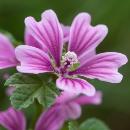 Kaasjeskruid - Malva sylvestris - Eetbare bloemetjes
