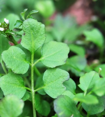 Kleine Veldkers - Cardamine hirsuta - Tuinkruiden