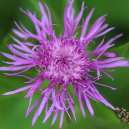 Korenbloemen Knoopkruid - Centaurea jaeca - Eetbare Bloemetjes