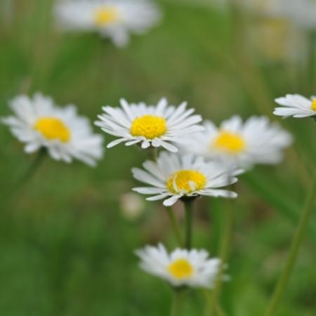 Wilde Madeliefjes - Bellis perennis - Eetbare bloemetjes
