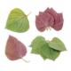 Perilla - Perilla frutescens crispa - Tuinkruiden