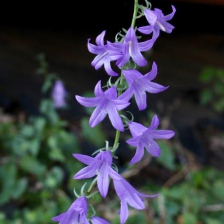 Grasklokje / Rapunzelklokje - Campanula rapuculoides - Eetbare Bloemetjes