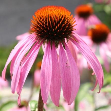 Rode Zonnehoed - Echinacea 'Pallida' - Eetbare bloemetjes