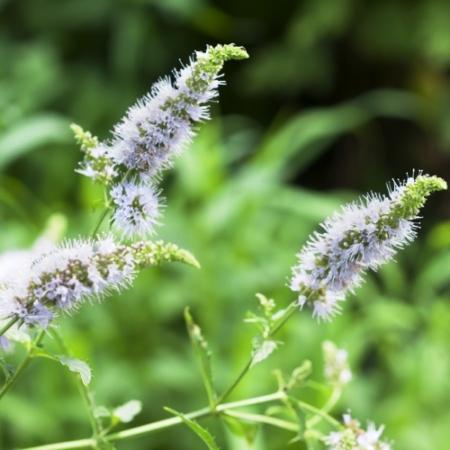 Munt Aarmunt / Groene Munt - Mentha spicata - Eetbare bloemetjes