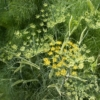 Venkel-loof - Foeniculum vulgare