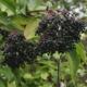 Vlierbessen - Sambucus nigra - Eetbare bloemetjes