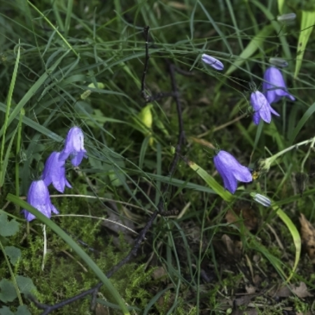 Wilde Grasklokjes / Weide Grasklokjes - Campanula rotundifolia - Eetbare Bloemetjes