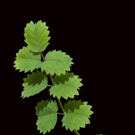Kleine Pimpernel - Sanguisorba minor - Eetbare bloemetjes