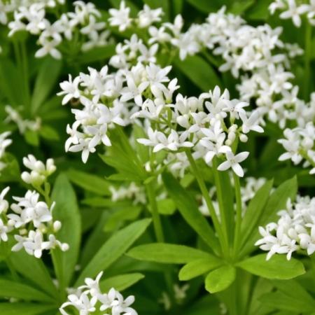 Lieve-vrouwen-bedstro - Galium odoratum - Eetbare bloemetjes
