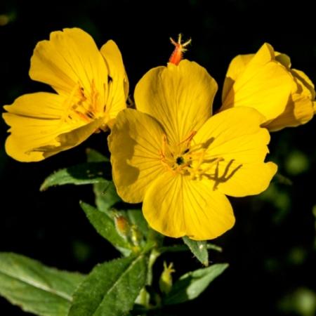 Teunisbloem - Oenothera biennis - Eetbare Bloemetjes