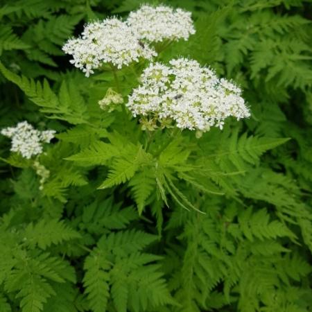 Roomse Kervel / Zoete Kervel - Myrrhis odorata - Eetbare Bloemetjes