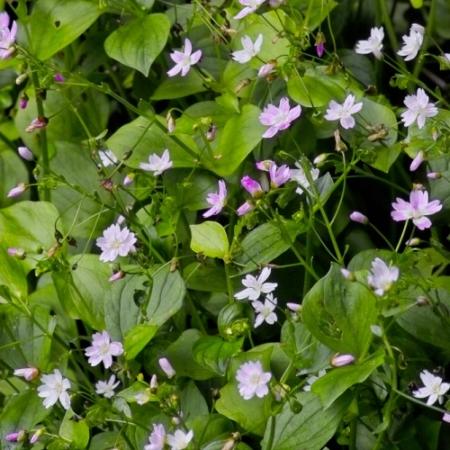 Winterpostelein - Claytonia perfoliata - Eetbare bloemetjes