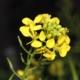 Witte Mosterd - Sinapis alba - Eetbare bloemetjes