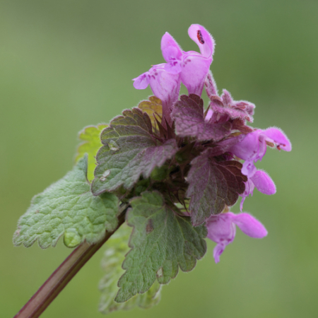 Dovenetel Paarse - Lamium purpureum - Eetbare Bloemetjes