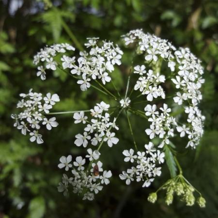 Fluitenkruid - Anthriscus sylvestris - Eetbare Bloemetjes