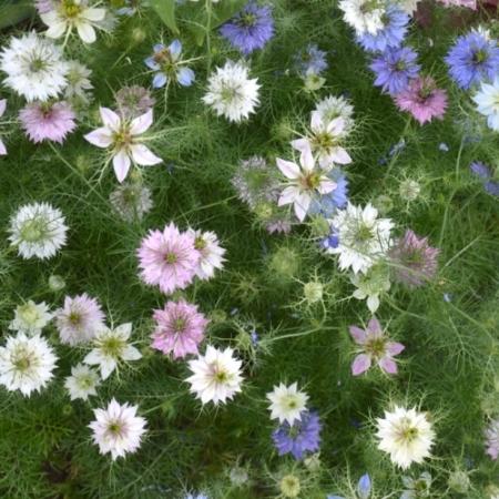 'Juffertje-in-het-groen' / Muskaat-bloem - Nigella damascena - Eetbare Bloemetjes