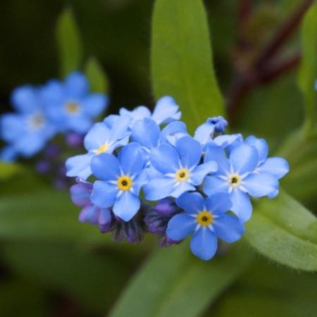 Vergeet-me-nietjes - Myosotis sylvatica - Eetbare bloemetjes