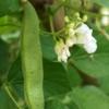 Pronkboon - Peulvrucht