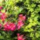 Chileense Oost-Indische Kers - Tropaeolum speciosum - Eetbare bloemetjes