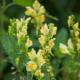 Wilde Vlasbekjes - Linaria vulgaris - Eetbare bloemetjes