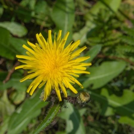 Muizenoor/Havikskruid - Hieracium pilosella - Eetbare bloemetjes