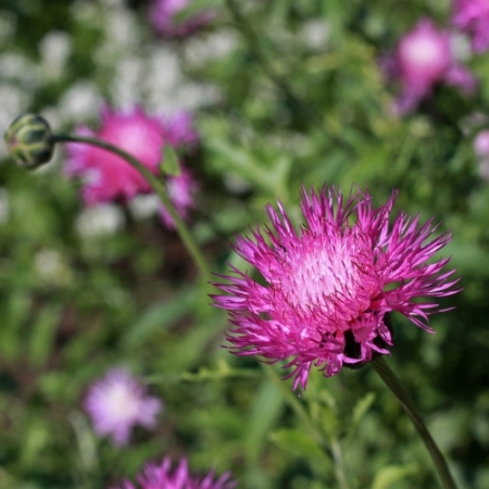 Keizers Korenbloem - Centaurea moschata - Eetbare bloemetjes