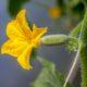 Augurk-bloemen - Cucumis sativus - Eetbare Bloemetjes