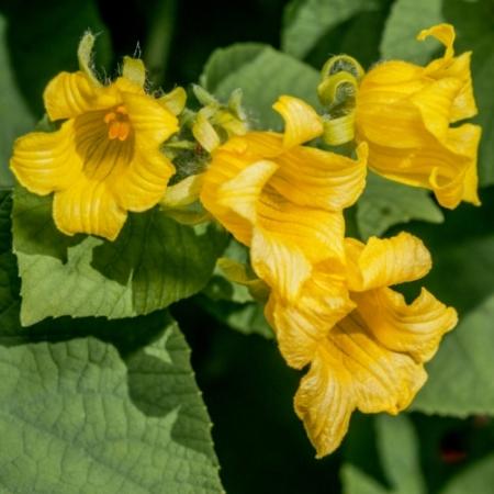 Komkommerbloem - Manchu tubergourd Thladiantha dubia - Eetbare bloemetjes