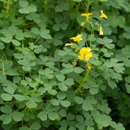 Klaverzuring OCA - Oxalis tuberosa - Eetbare bloemetjes