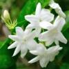 Jasmijn bloemen - Jasmine blossom - Jasminum officinalis sambac - Eetbare Bloemetjes