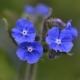 Ossentong - Anchusa officinalis - Eetbare bloemetjes