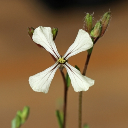Rucola bloemetjes - Eetbare bloemetjes