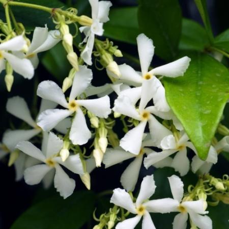 Jasmijn bloemen - Jasminum officinalis sambac - Eetbare bloemetjes