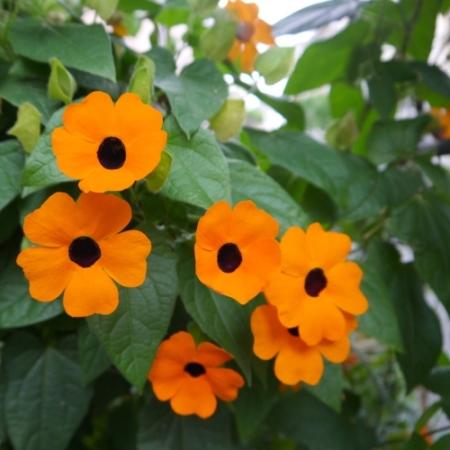Suzanne-met-de mooie-ogen - Thunbergia alata - Eetbare bloemetjes